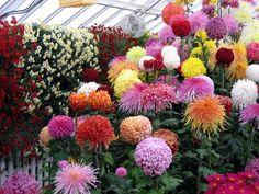 colorful chrysanthemums