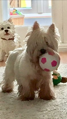 Westie with her ball