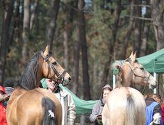l'étalon AKHAL-TEKE Sha Nameh et mon NEZ-PERCE Ungaro Del Layon des CHEVAUX DU LAYON en sortie d'endurance, beau souvenir
