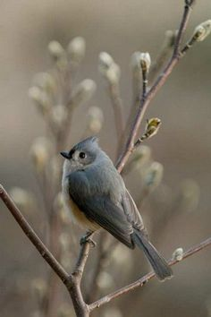 Tufted Titmouse (second place, composition 2009) The Great Backyard Bird Count by Michele Black, OH
