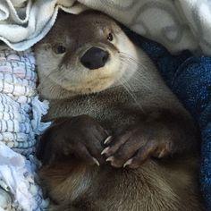 Cozy otter