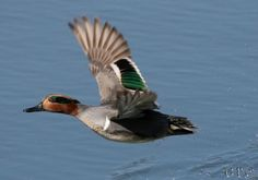 Green Wing Teal | Wings and Fins