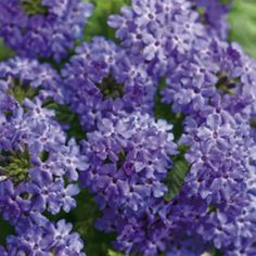 Want to add some blue flowers to your garden but don't want to do too much work? These easy care shrubs and perennials with beautiful blue flowers are just what you need. They all will look pretty in your garden and are all low maintenance plants. Purple Plants, Purple Garden, Shade Plants, Shade Garden, Purple Flowers, Garden Plants, Shade Annuals, Pink Plant, Garden Bulbs