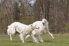 borzois playing Russian Cat Breeds, Russian Wolfhound, Afghan Hound, Wild Dogs, Working Dogs, Dog Art, Beautiful Dogs, Dog Life, I Love Dogs
