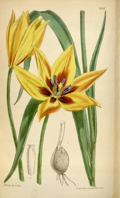 Tulipa orphanidea - circa 1877