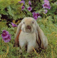 Rabbit - I've always wanted a floppy eared rabbit