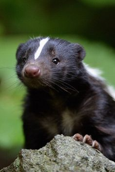 Flo the skunk arrives at Edinburgh Zoo from Amneville Zoo in France on June 1, 2012 in Edinburgh, Scotland. Flo has joined a six year old male skunk Fergus, both are striped skunks which are native to