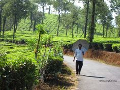 Tea Plantations and spice farms fill the countryside in Wayanad Kerala