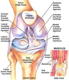 Preventing ACL Injury through Strengthening Exercises - Women Fitness The Anterior Cruciate Ligament is extremely important to all, as this ligament controls rotational forces in the knee. If this ligament Preventing ACL Muscle Anatomy, Body Anatomy, Anatomy Study, Knee Muscles Anatomy, Knee Joint Anatomy, Anatomy Of The Knee, Anatomy Bones, Anterior Cruciate Ligament, Ligaments Of The Knee