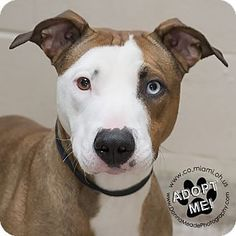 Urgent! I am at a full, high kill shelter in Troy, OH - Pit Bull Terrier Mix. Meet Zoey, a dog for adoption. http://www.adoptapet.com/pet/17711449-troy-ohio-pit-bull-terrier-mix