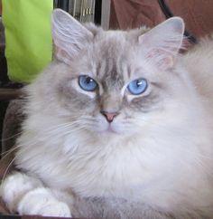 I love Troy! My blue mitted lynx Ragdoll cat!