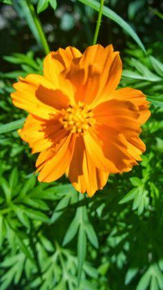 Panelas de Capim: Maravilhoso Mundo das Flores Comestíveis-Cosmos