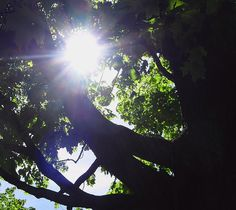 The sun shines through the branches and leaves of a Maple Tree in Keene, New Hampshire in New England. Image captured in May by Nicole.