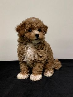 Small dogs can be your great companion. Did your little pal make the list? Teacup Dog Breeds, Tiny Dog Breeds, Cute Dogs Breeds, Teacup Puppies, Doodle Dog Breeds, Cute Baby Dogs, Super Cute Puppies, Cute Baby Animals, Tiny Puppies