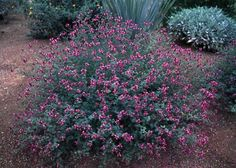 Dalea frutescens - Black Dahlea - Plant with gulf mully, pink pampass grass and blue agave and sage brush for contrast