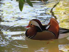 Aix Galericulata, Animal Kingdom, Bird, Mandarin Duck, Everything, Animals, Birds