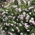 Fantin Latour - Zartrosa - Rosa_centifolia - Historische_Rosen - Rosen - Rosen von Schultheis
