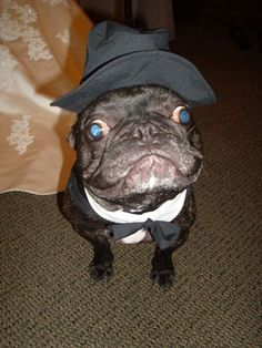 French bulldog Stitch as a ring bearer to a wedding. Love the hat.
