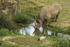 Nos rhinocéros aiment se désaltérer dans leur mare durant les fortes chaleurs estivales.