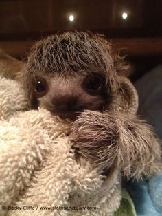 Baby Minnie at the Sloth Sanctuary in Costa Rica-- adorbs!