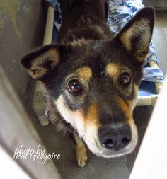 A4862137 I am a gentle and very friendly 4 yr old spayed female black/tan Jindo mix. I came to the shelter as a stray on August 1. available now NOTE: Pit bulls are not kept as long as others so those dogs are always urgent!!  Baldwin Park shelter  https://www.facebook.com/photo.php?fbid=1011368672208303&set=a.705235432821630&type=3&theater