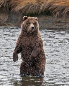 A Coastal Brown Bear,Grizzly Bear standing in the stream looking for salmon