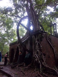 A sugar mill from 1890, taken over by a tree.
