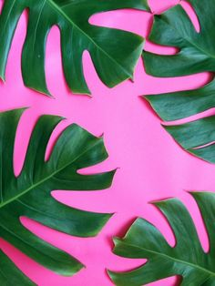Delicious monster leaves against a pink backdrop