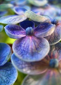 Close up of a Hydrangea - perennial, woody shrub. Does well in part shade to shade. In the language of flowers hydrangea means frigid or heartless!