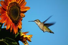 Hummingbirds will nectar from some sunflowers. Photo by Birds & Blooms reader Tammi Frick.