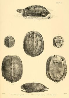 Scientific illustration: turtles and turtle shells Shell Drawing, Lowbrow Art, Effigy, Animal Sketches, Vintage Artwork, Sketchbook Inspiration, Science And Nature, Natural History, Art Techniques