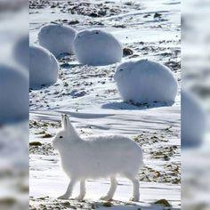 Arctic Hares http://ift.tt/2eUwj3g