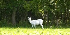 The gorgeous Seneca white deer thrived and roamed undisturbed in a former Army depot since 1941. For the... (33793 signatures on petition)