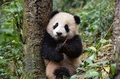 パンダのシャンシャン、従兄弟も人気者だ!ピンク毛まで一緒とは… - withnews(ウィズニュース)