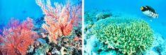 Sango Korallen beugen Kalzium Mangel und Magnesium Mangel vor, den Sango Meeres…