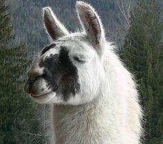 The Zen of Llamas