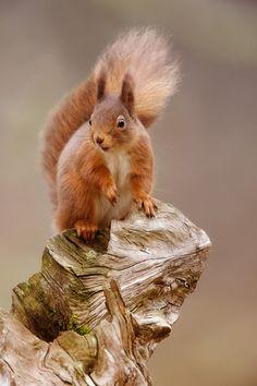 Red squirrel  by Sue Demetriou