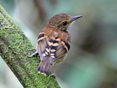 Female Spotted Antbird (Hylophylax naevioides) - Soberania National Park, Panama. Photo by Dick Daniels