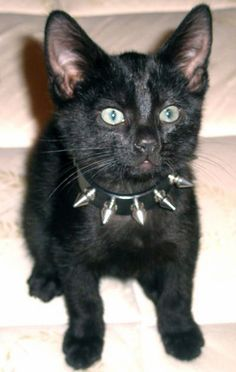 zierota:    stilletolovinvixen:    kittehkats:    Kitteh Kats: This looks just like my Nelson, (not with us anymore) spiked collar and all.  thewitchescircle:    So cute. Thewitchescircle      AWE    For you, Hillary <3