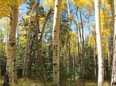Aspen meadows...part of my soul is rooted in the Santa Fe Sangre de Cristo trails...