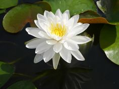 Nymphaea 'Prapunt White' Hardy Waterlily  |  บัวฝรั่งสัญชาติไทย 'ประพันธ์ไวท์'