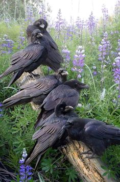 Spirit of Raven Beautiful Birds, Animals Beautiful, Beautiful Pictures, Animals And Pets, Cute Animals, Raven Bird, Pet Raven, Crow Bird, Jackdaw