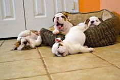 We haven't quite mastered sleeping in a dog bed yet. :D #cute #bulldog #puppies #dogs