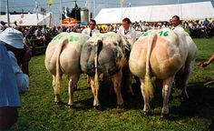 Belgian Blue Cattle – Super Cow Aka Incredible Hulk Cow » Hemmy.net - A source of varied interests