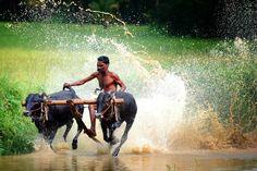 Like Jallikattu, now Kerala's Kalapoottu enthusiasts want Supreme Court ban lifted | The News Minute