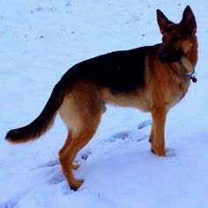Poised and Powerful ~ My German Shepherd Blitzburgh