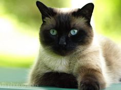 Siamese- this reminds me of my old cat Neva