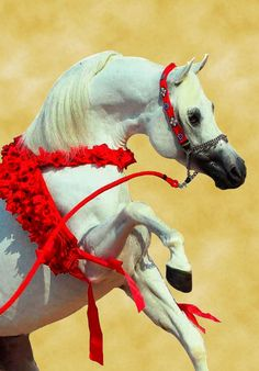 Arabian Horse Show - Western Competition Egyptian Stallion Breeding - SO FINE YET SO POWERFUL x