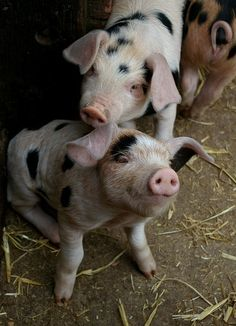 Happy Pigs Cute Baby Animals, Farm Animals, Beautiful Creatures, Animals Beautiful, Vida Animal, A Well Traveled Woman, Baby Pigs, Cute Pigs, Tier Fotos