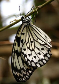 beautiful black & white butterfly -- with tiny black hearts on the wings!